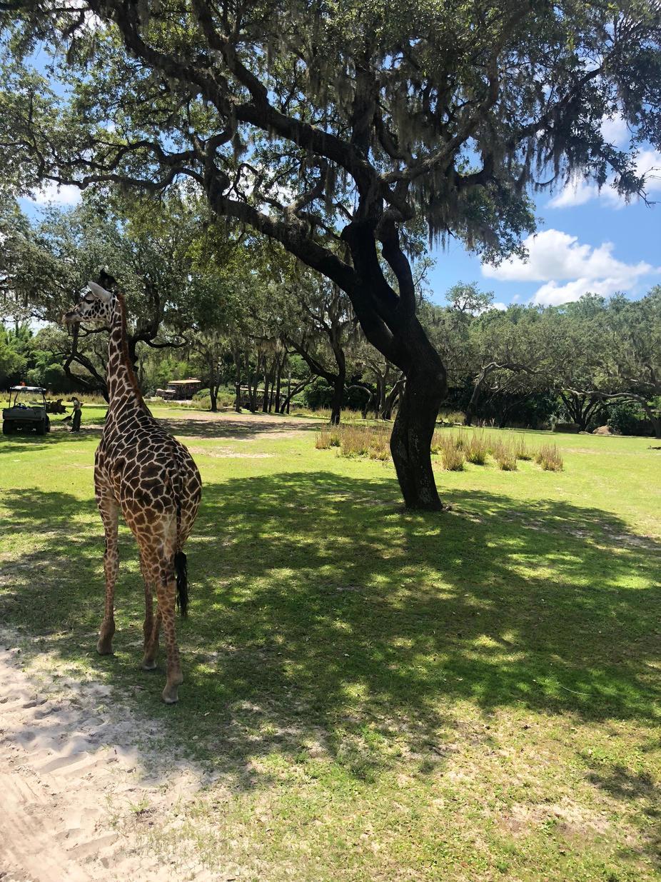 Giraffes Everywhere!